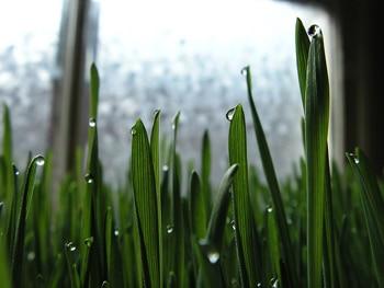 Wheatgrass Chlorophyll